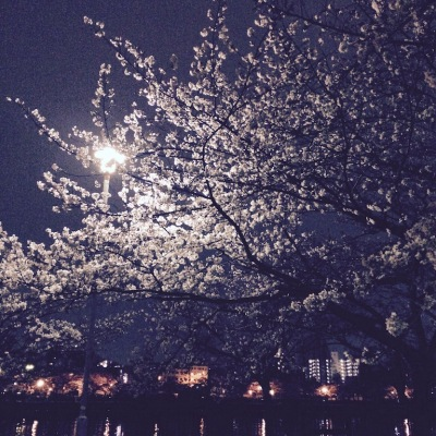 天満橋 桜